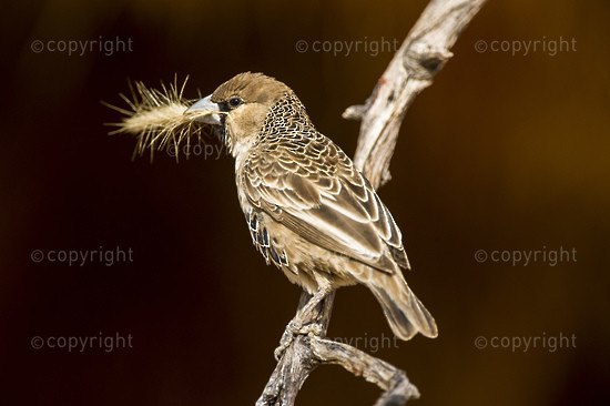 A Sociable Weaver carries nesting material