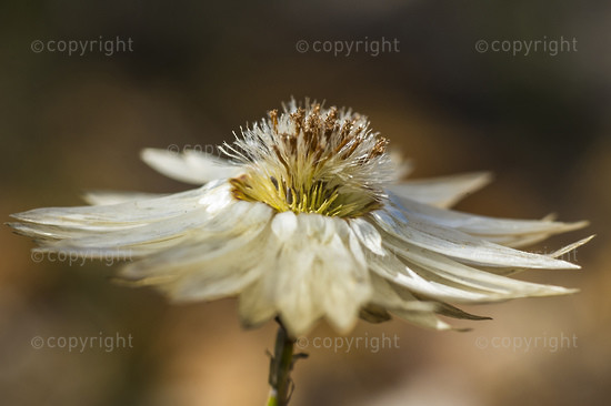 Sewe-jaartjie Flower