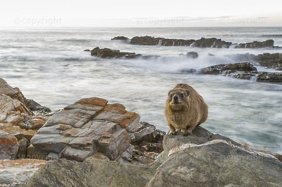 Rock Hyrax sunning on the coastal rocks