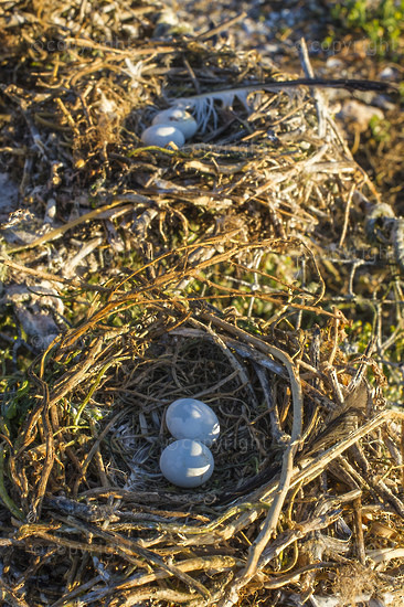 Nests and eggs of Crowned Cormorants
