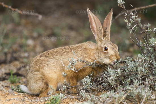 A Cape Hare browzes on new leaf shoots of a small shrub