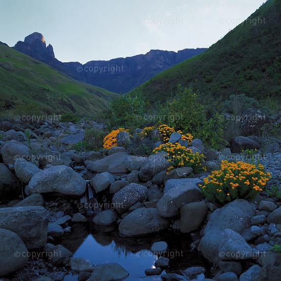 Drakensberg flowers, South Africa