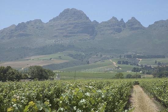 Mooiberge vineyard
