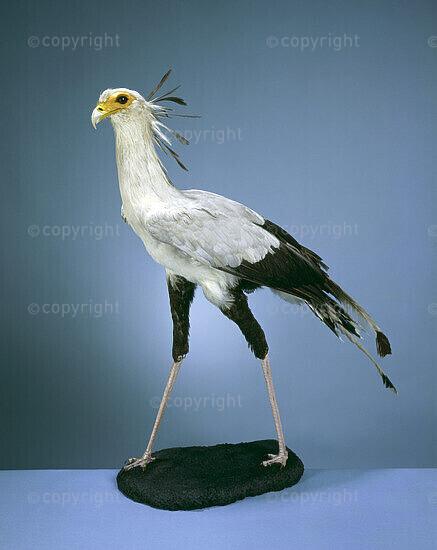 Secretary bird, Sagittarius serpentarius