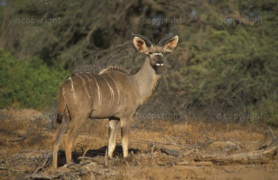 NA-DA-kudu-001