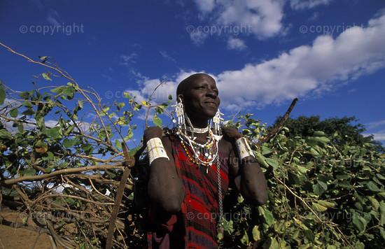 Maasai woman carrying branches for fencing the boma, Longido, Tanzania