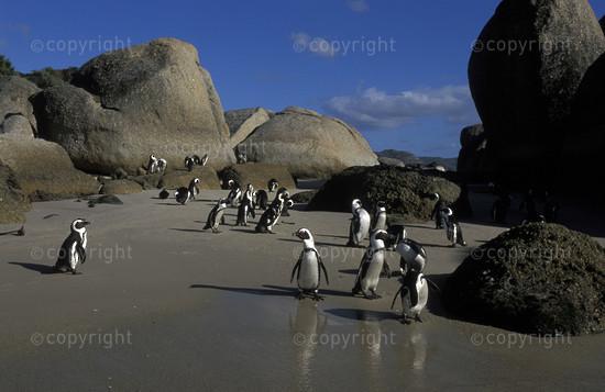 SA-FB-penguin-003