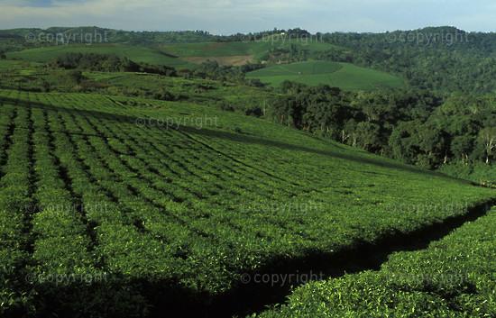 Tea plantation, Uganda2