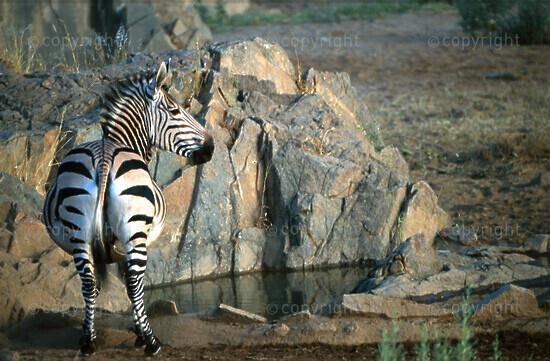 Hartmans Mountain Zebra