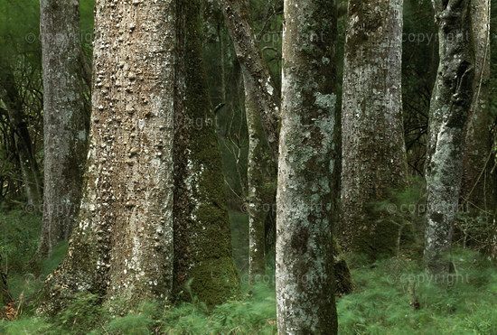 South Africa, Woody Cape Nature Reserve, indigenous forest.