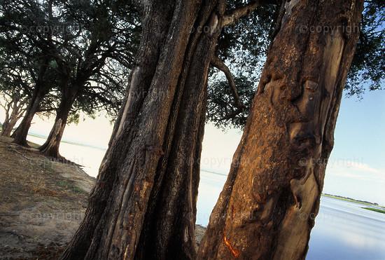 Jackal-Berry trees, Chobe National Park, Botswana