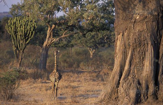 TA-RU-giraffe-003