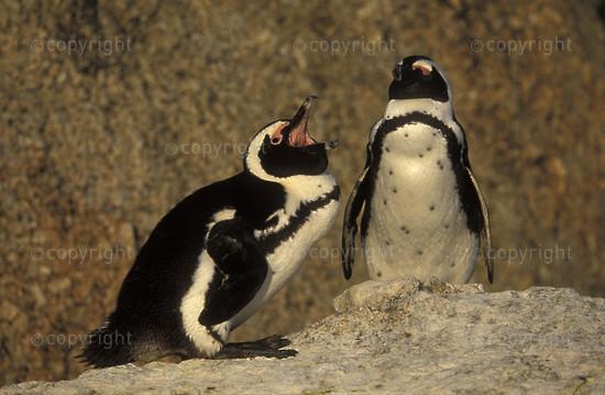 SA-FB-penguin-010