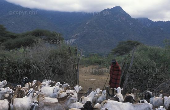Maasai boma with livestock, Longido, Tanzania