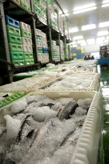 boxes of fish on ice on the factory floor