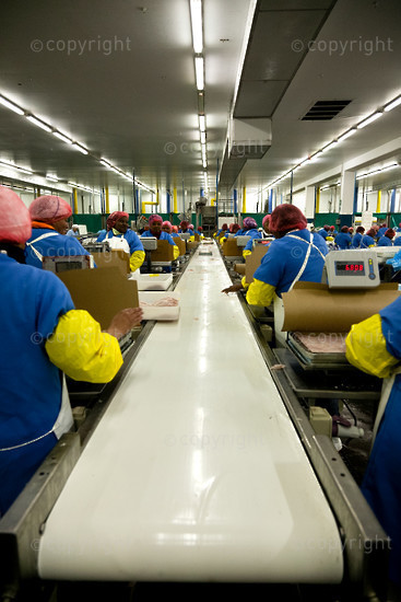 workers on the production coveyor belt weighing and sending quantities of fish